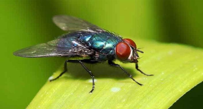 Cara Mengusir Lalat Dari Rumah Info Bugar
